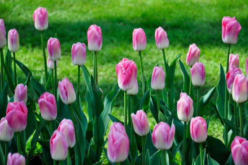 Tulpenblüte Rosa Blumenfeld der Nahaufnahme draußen stockbild