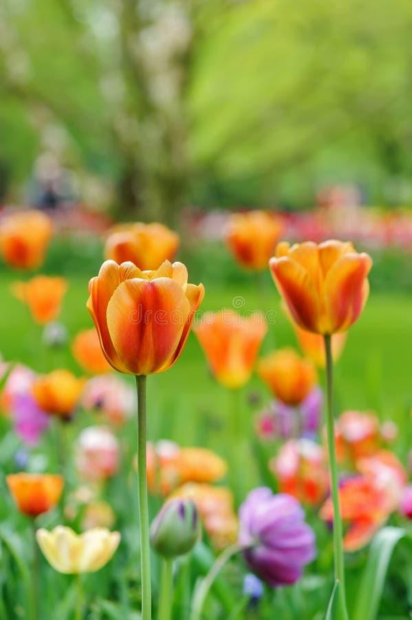 Tulpenbloei royalty-vrije stock fotografie