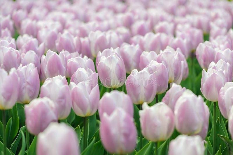 Tulpenbloei royalty-vrije stock afbeeldingen