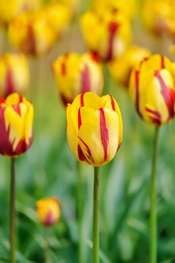 Tulpenbloei royalty-vrije stock foto