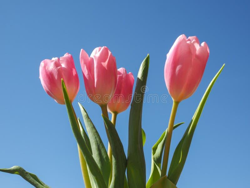 Tulpenbloem stock afbeelding