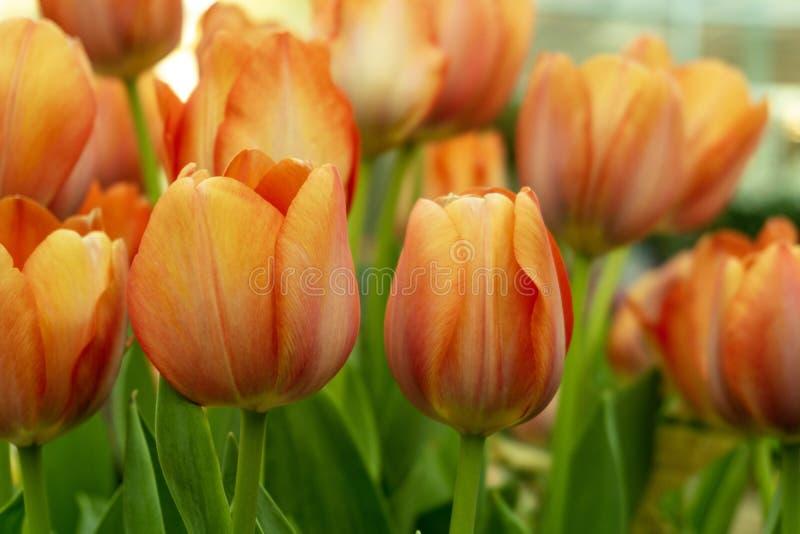 Tulpenbloem growup in de glasruimte royalty-vrije stock afbeelding