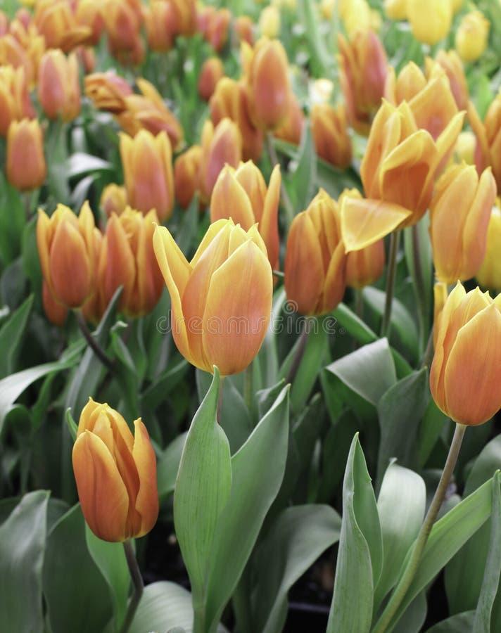 Tulpenbloem met groen blad stock fotografie
