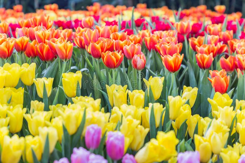 Tulpenbloem met groene bladachtergrond in tulpengebied bij de winter of de lentedag voor de decoratie en de landbouw van de prent stock foto
