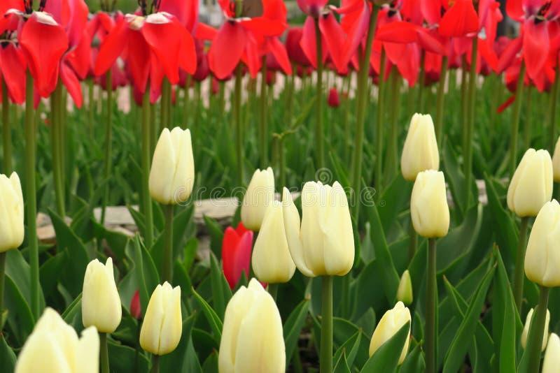 Tulpenbloem met groene bladachtergrond in tulpengebied bij de winter of de lentedag voor de decoratie en de landbouw van de prent royalty-vrije stock afbeeldingen