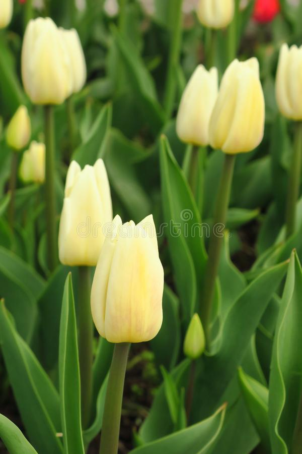 Tulpenbloem met groene bladachtergrond in tulpengebied bij de winter of de lentedag voor de decoratie en de landbouw van de prent royalty-vrije stock fotografie