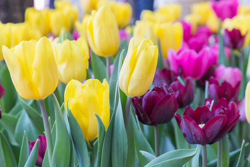 Tulpenbloem met groene bladachtergrond in tulpengebied bij de winter of de lentedag voor de decoratieontwerp van de prentbriefkaa stock afbeeldingen