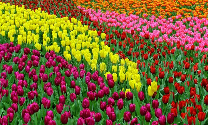 Tulpenbloemen in de lente stock afbeelding