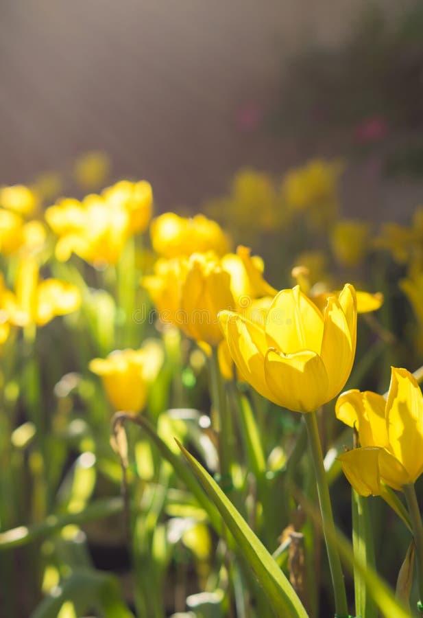 Tulpenbloemen in tuin met zonlicht royalty-vrije stock foto