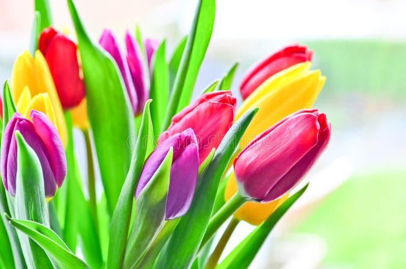 Tulpenbloemen, Tulipa Gesneriana stock foto's