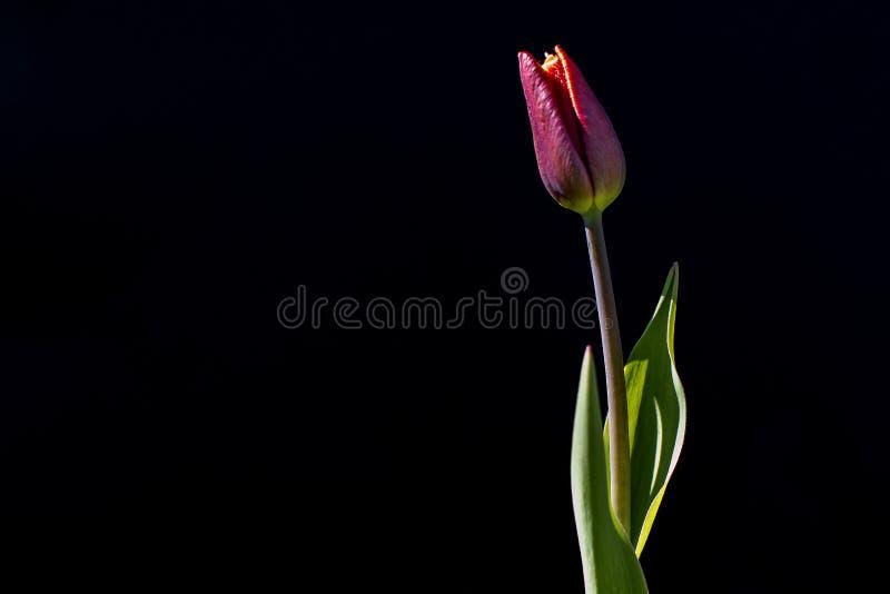 Tulpenblume auf einem schwarzen Hintergrund lizenzfreies stockbild
