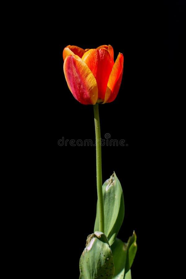 Tulpenblume auf einem schwarzen Hintergrund stockfoto