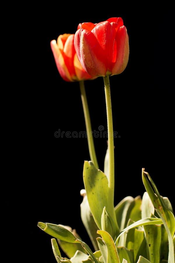 Tulpenblume auf einem schwarzen Hintergrund stockbild