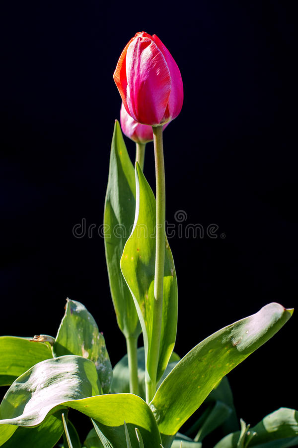 Tulpenblume auf einem schwarzen Hintergrund stockbilder