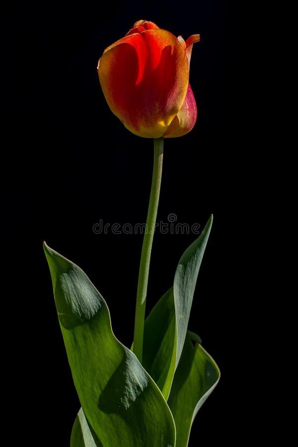 Tulpenblume auf einem schwarzen Hintergrund stockfotografie