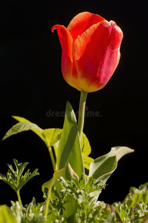 Tulpenblume auf einem schwarzen Hintergrund stockfotos