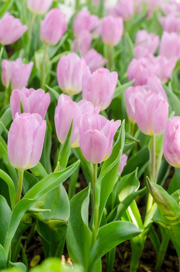 Tulpenblume im Garten stockbilder