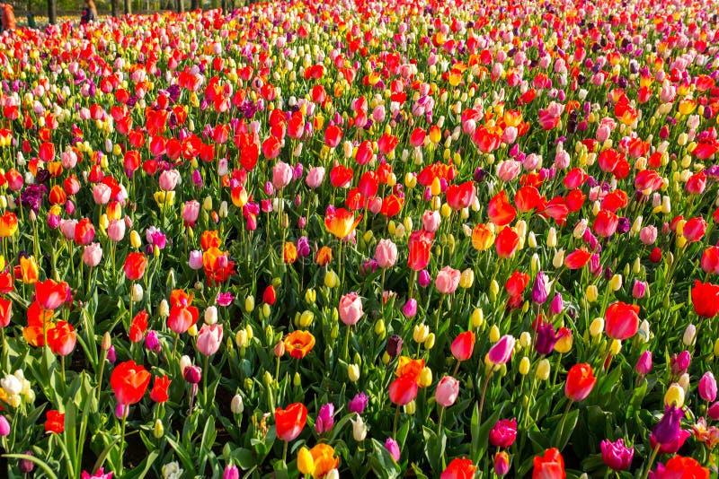 Tulpenblume Keukenhof-Bauernhof Ansicht zum Welterbeschloß von Cesky Krumlov stockbild