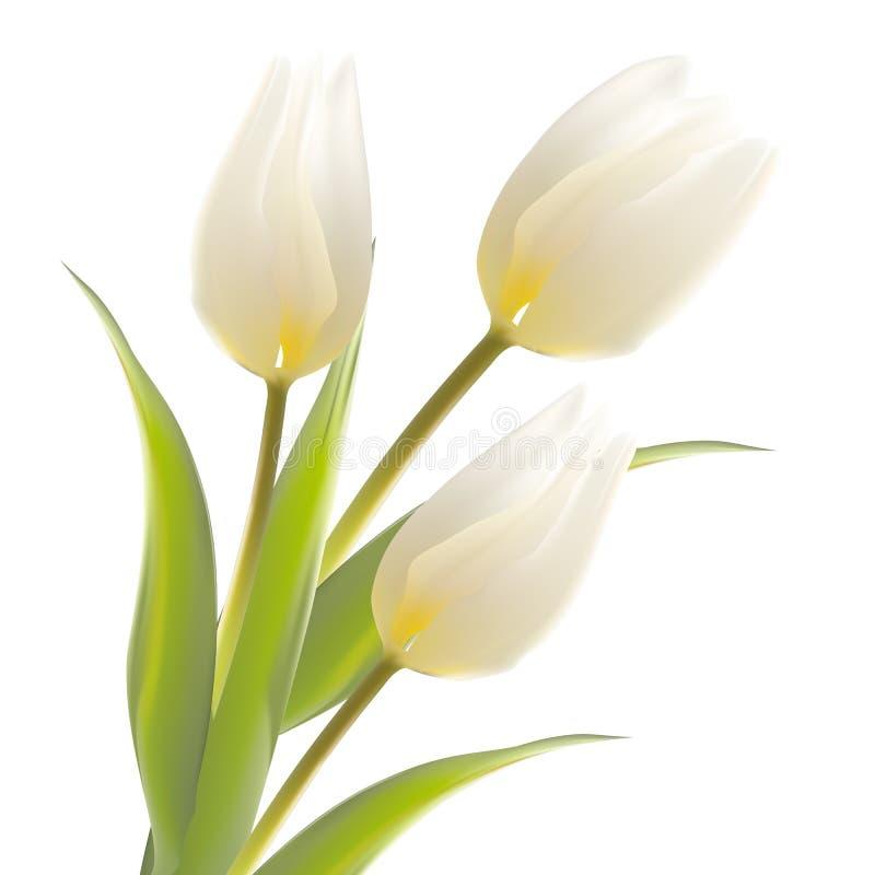 Tulpenblume lokalisiert über Weiß. stock abbildung