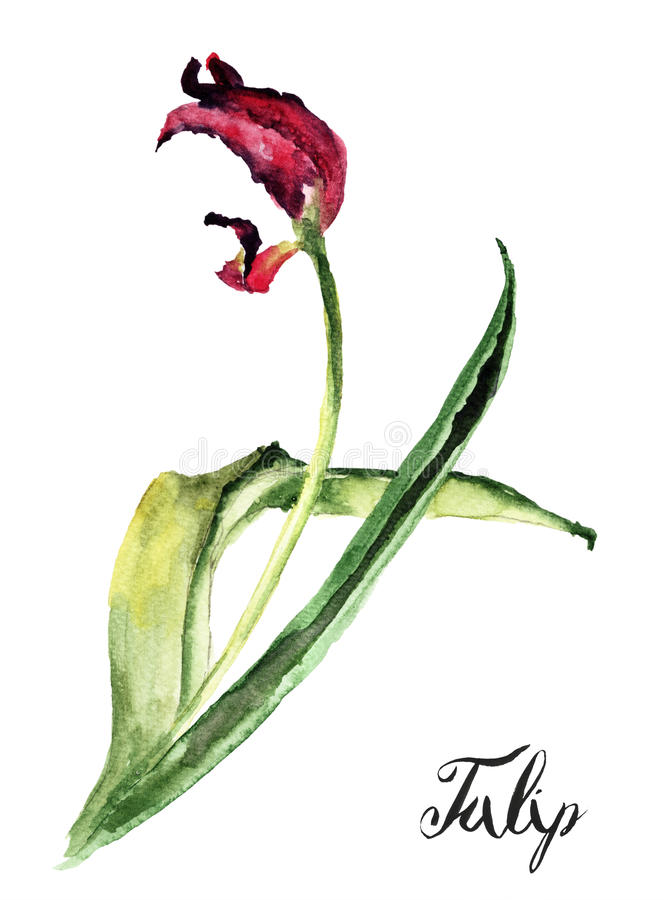 Tulpenblume mit Titel Tulpe lizenzfreie abbildung