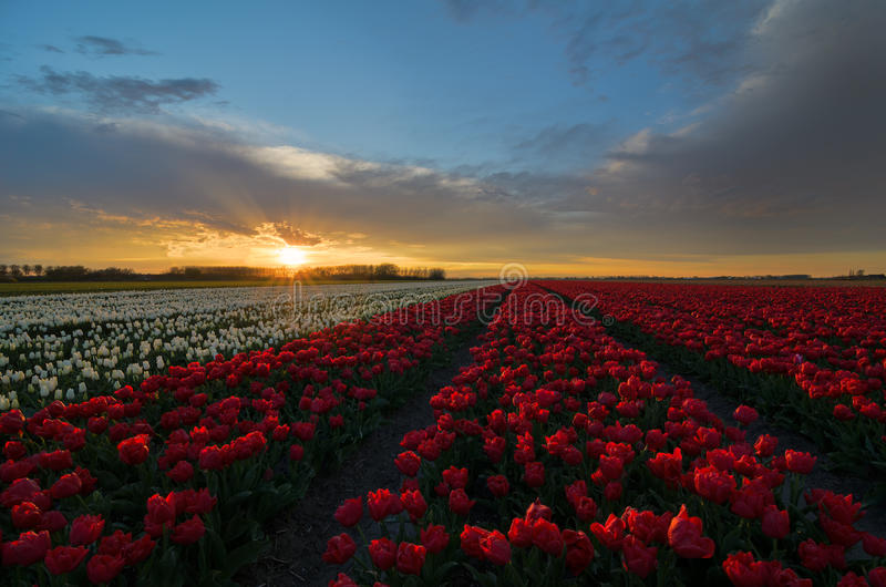 Tulpenblumen in den Niederlanden lizenzfreie stockbilder