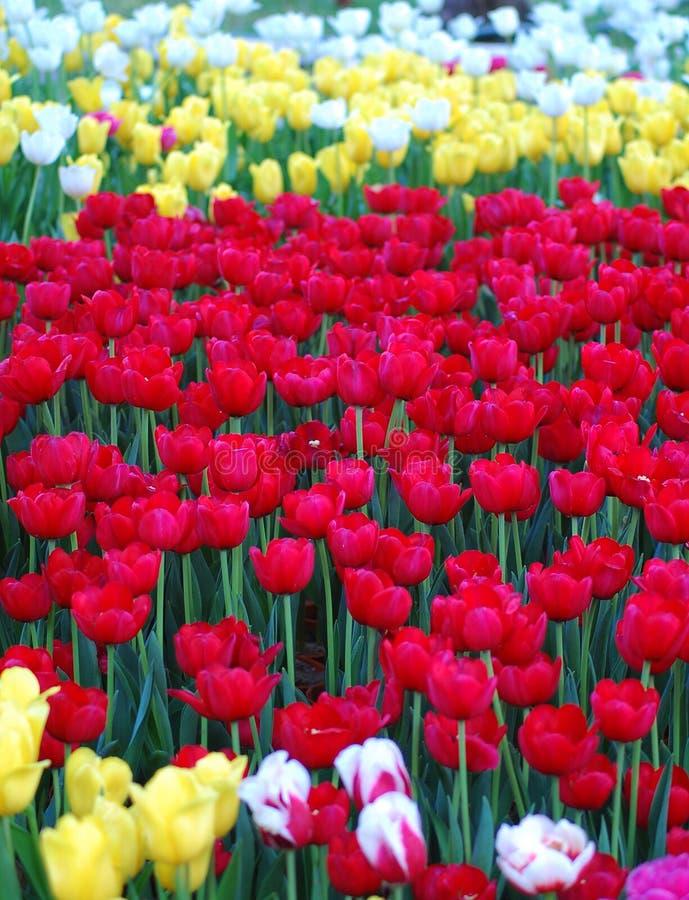 Tulpenblumen, die am Garten in Vietnam blühen stockfotos