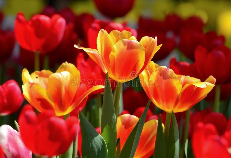 Tulpenblumen am sonnigen Tag lizenzfreie stockfotografie