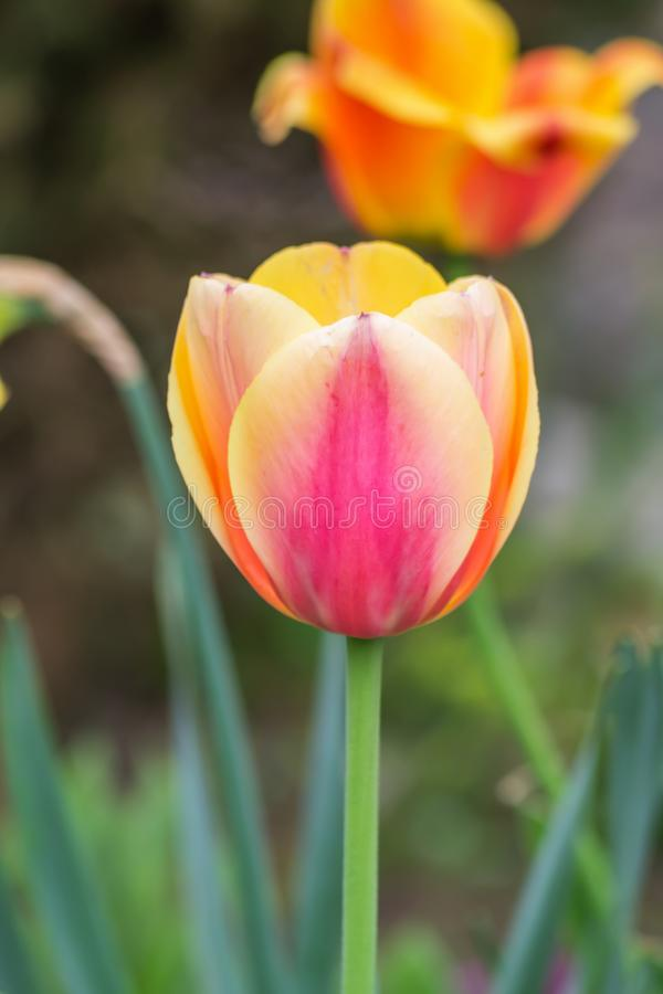 Tulpenblumenblüte im Garten stockfotos