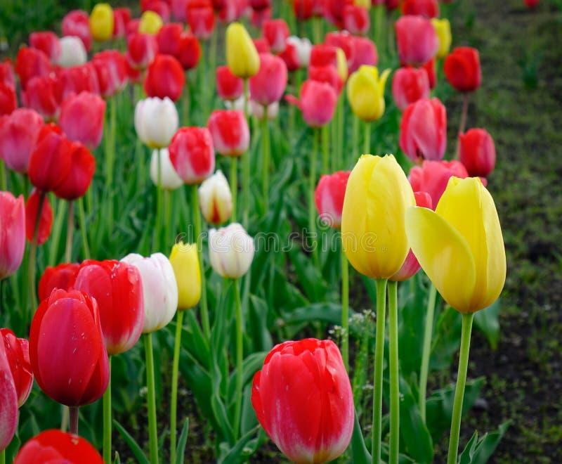 Tulpenblumenfeld am sonnigen Tag in Tohoku, Japan lizenzfreies stockbild
