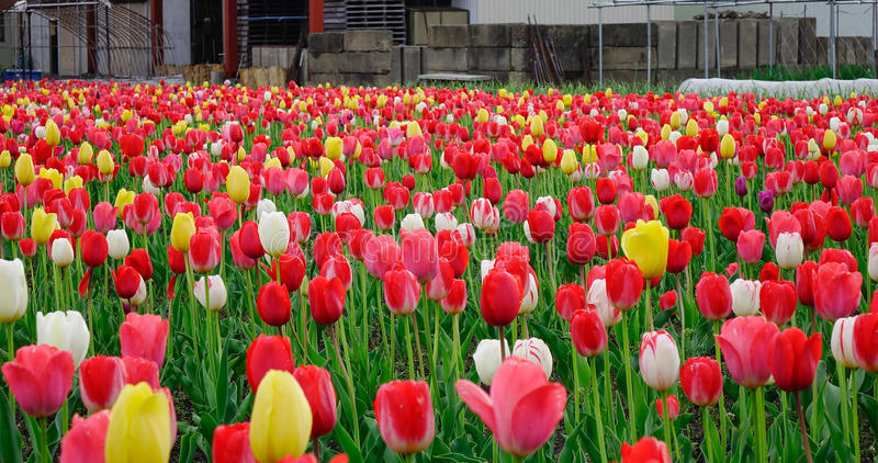 Tulpenblumenfeld am sonnigen Tag in Tohoku, Japan lizenzfreie stockfotos