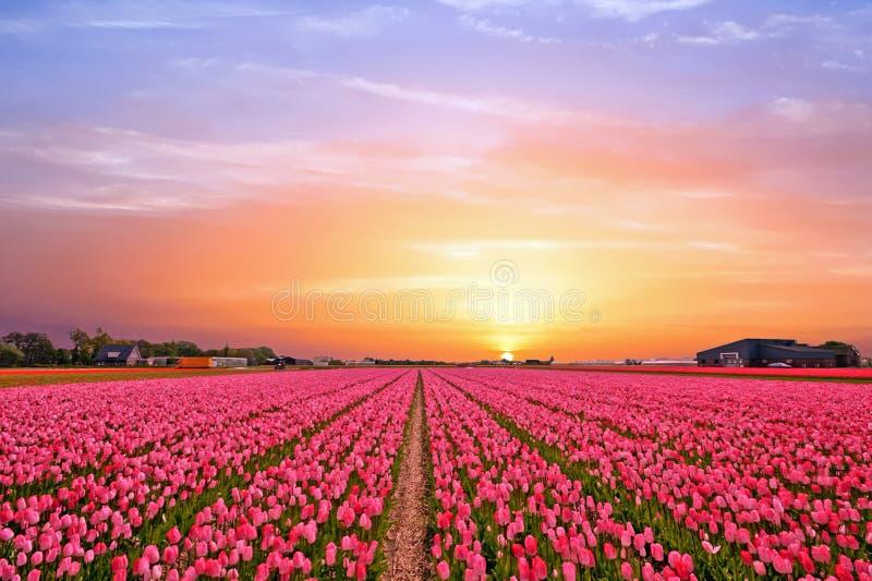 Tulpenfelder in der Landschaft von den Niederlanden im Frühjahr stockbilder
