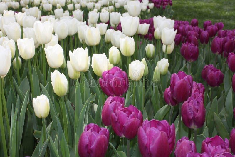 Tulpenfestival, emirgan park Istanboel Turkije stock afbeelding