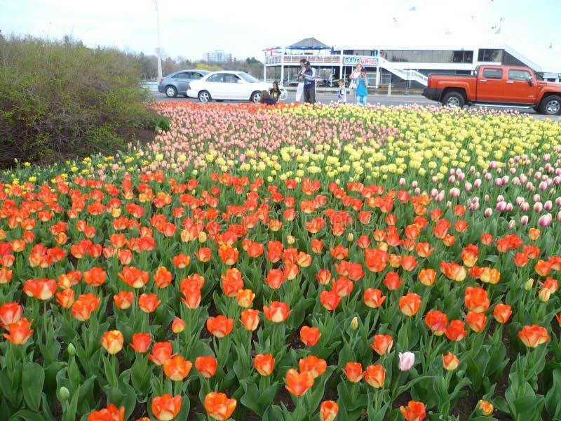 Tulpenfestival Ottawa stock fotografie