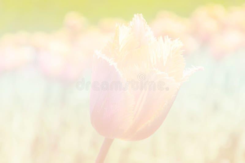 Tulpengebied im uitstekende toonachtergrond royalty-vrije stock fotografie