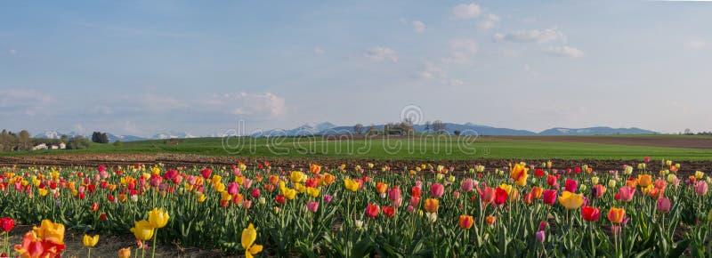 Tulpengebied met kleurrijke bloesems, bergketen op de achtergrond royalty-vrije stock afbeeldingen