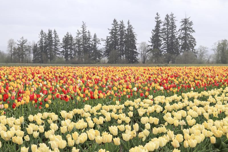 Tulpengebied met veelvoudige soorten tulpen met verschillende kleuren stock afbeelding