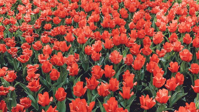 Tulpengebied in Nederland Kleurrijke rode tulpen in de bloemtuin royalty-vrije stock afbeelding