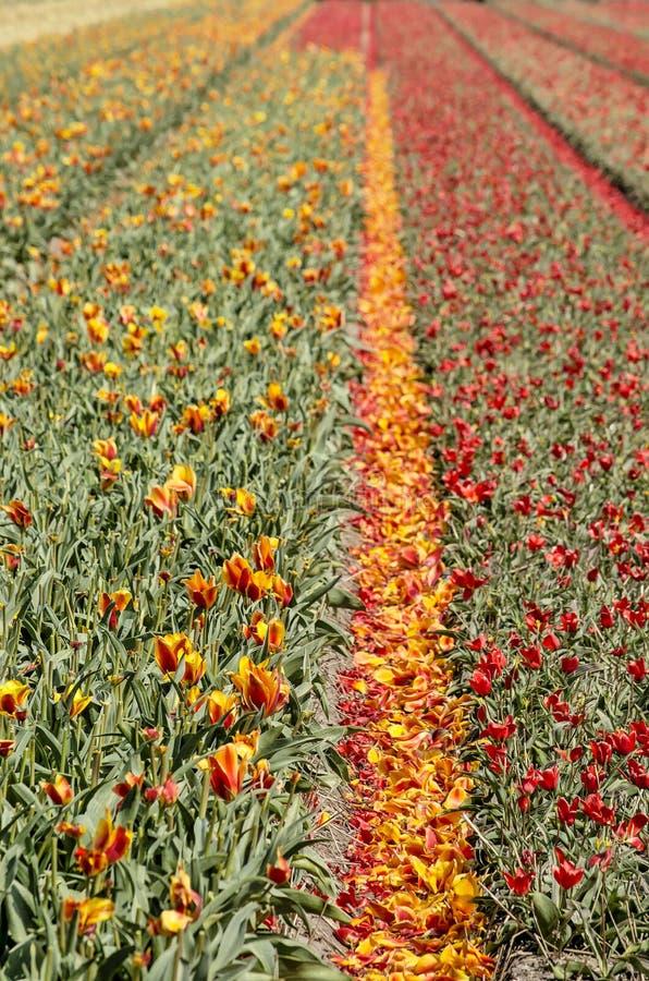 Tulpengebieden met gevallen bloemblaadjes royalty-vrije stock foto's