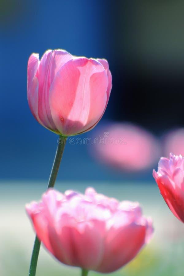 Tulpenhintergrund: Mutter-Tagestulpen - Fotos auf Lager stockfotos