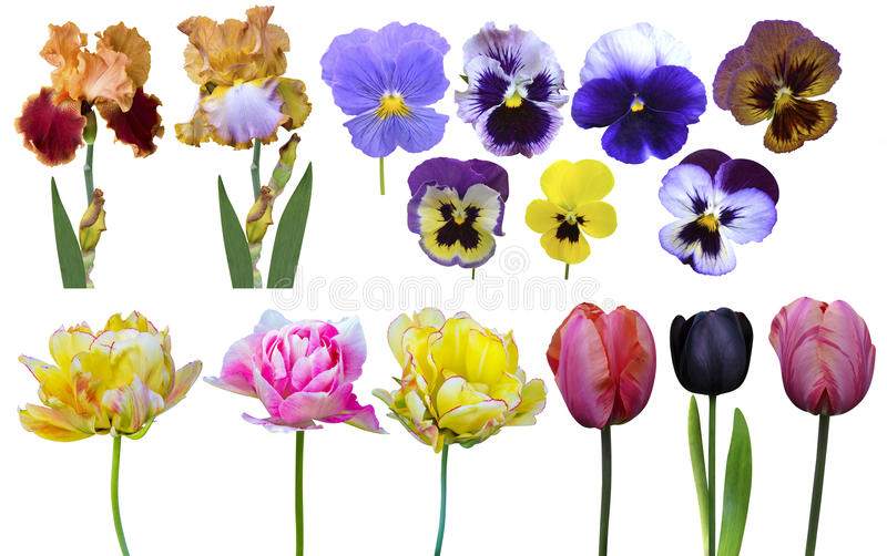 Tulpenirissen pansies royalty-vrije stock foto