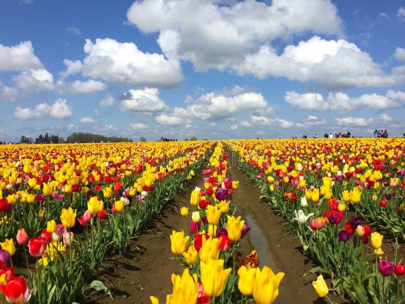 Tulpenreihen stockfotos