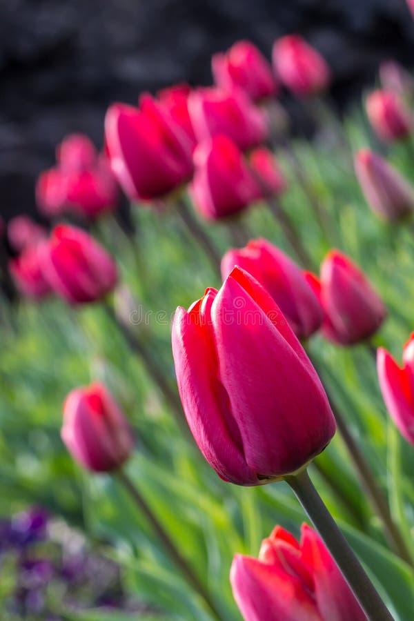 Tulpenschönheit lizenzfreies stockfoto