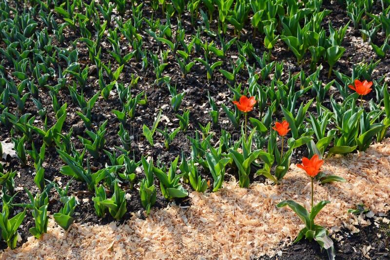 Tulpenspruiten Een Bloembed van Tulpen De lenteinstallaties, Knoppen royalty-vrije stock afbeeldingen