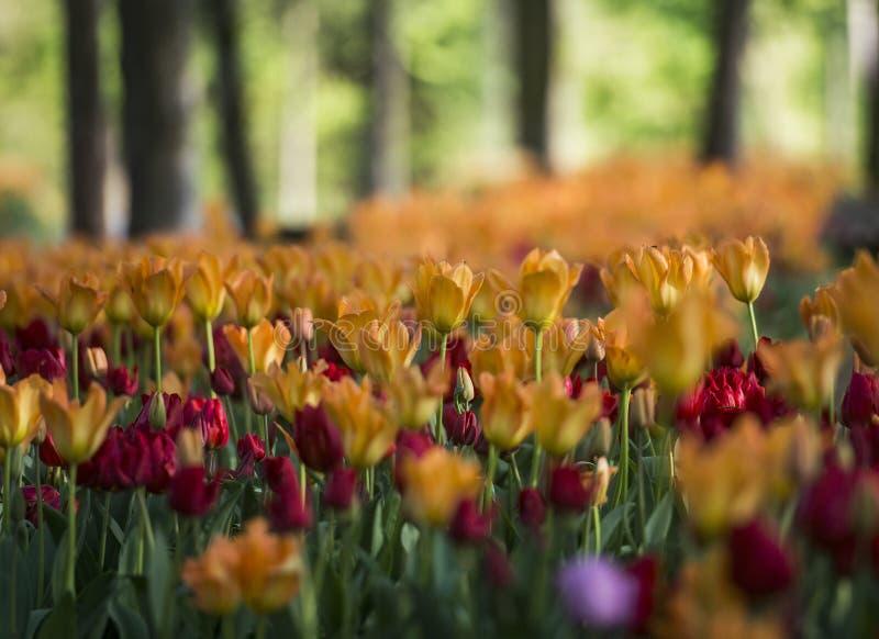 Tulpententoonstelling in het Arboretum van Volcji potok stock foto