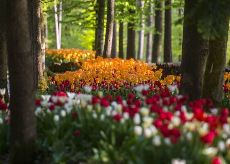 Tulpententoonstelling in het Arboretum van Volcji potok stock afbeeldingen