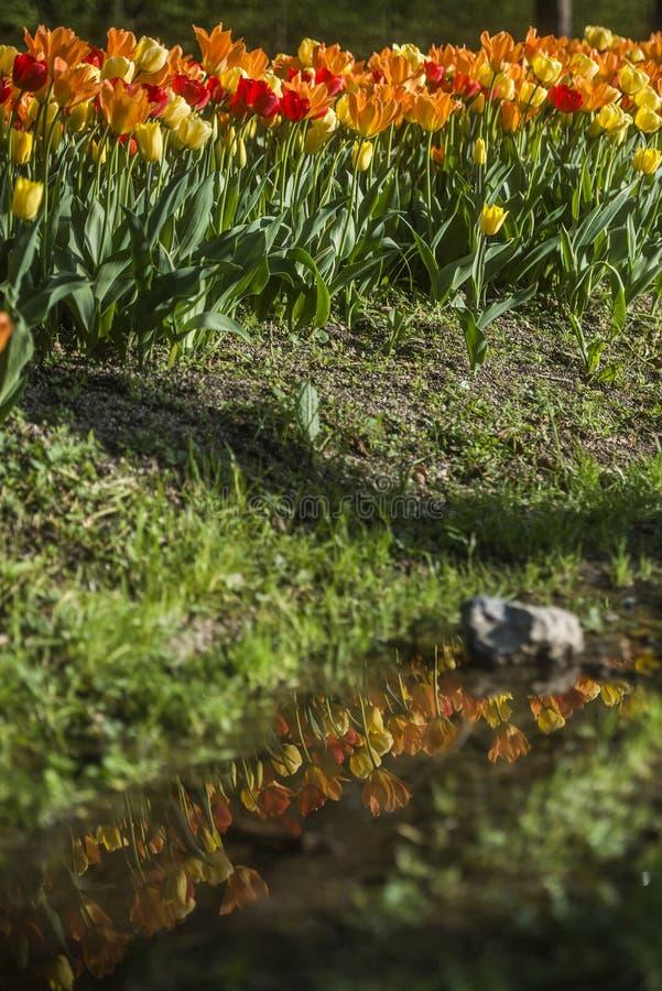 Tulpententoonstelling in het Arboretum van Volcji potok royalty-vrije stock foto's