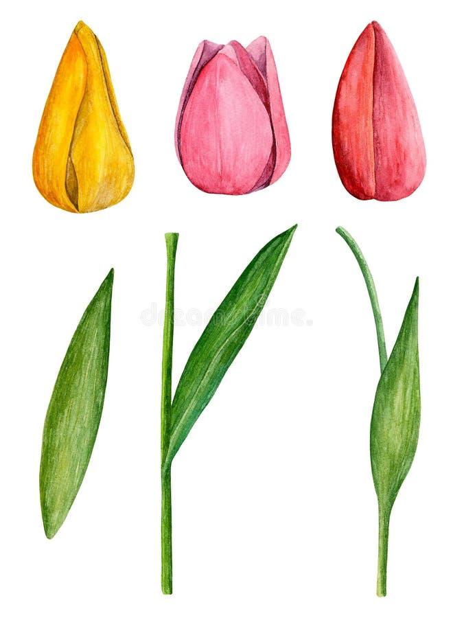 Tulpenvektorclipart vektor abbildung