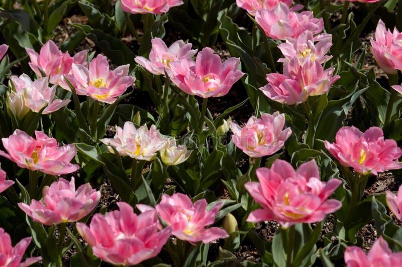 Tulpeverrücktheit stockfoto