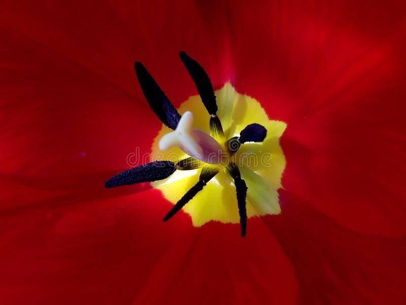 Tulpin rouge photos libres de droits