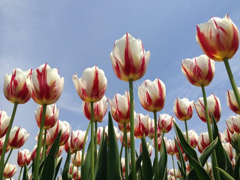Tulps vermelhos e brancos fotografia de stock royalty free